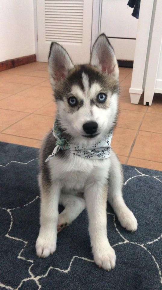 Katiebrooke Kennels Pomsky Specialists Ireland Just The Cutest