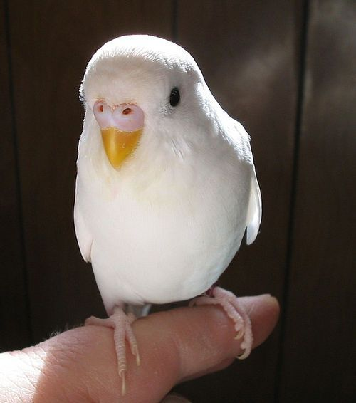 Albino Budgerigar A good example of a female budgie with