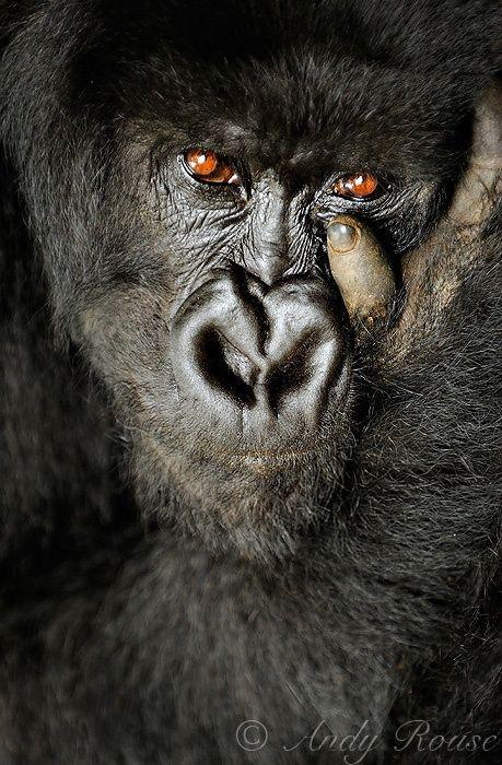 Wild eyes, Mountain gorilla and Eyes on Pinterest