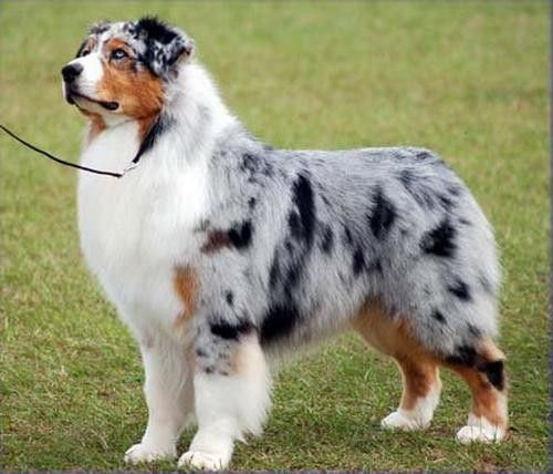 Australian Shepherd 20 To 70 Pounds Up To 23 Inches Tri Bi Or