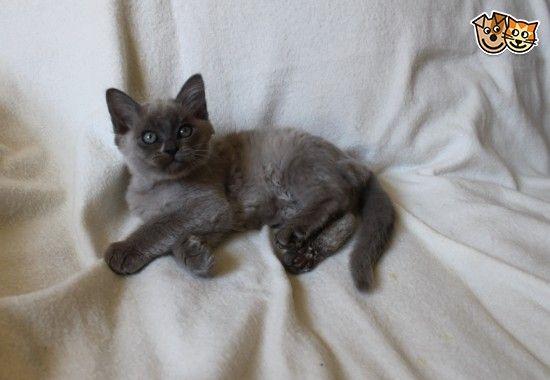 Long Haired Burmilla Kittens Burmilla Grey Kitten Kittens