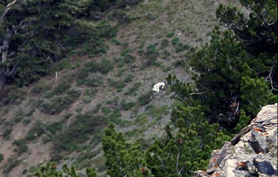 Hiker and amateur photographer Coty Creighton was exploring some trails in the northern Utah mountains when he allegedly spotted a man dressed in a crude goat costume and following a wild herd of the beasts.