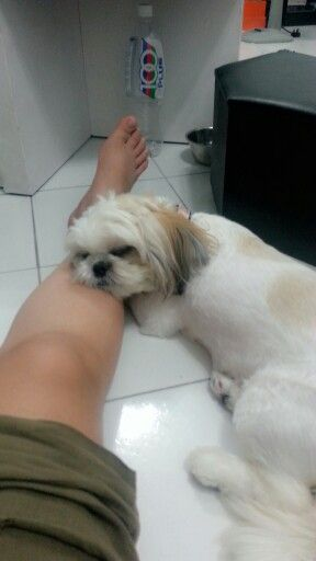 I find it comfy to sleep on my human's leg.. #shihtzu #pet #dog #sleeping