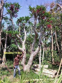 Pin Di Tanaman Peneduh Pohon Pelindung