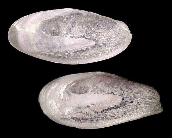 Stimpson chimney clam