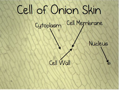 experiment to look at onion cells