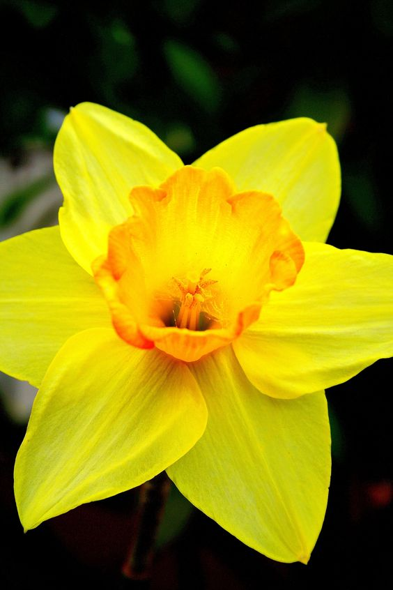 The national flower of Wales, the daffodil.   Welsh things ...