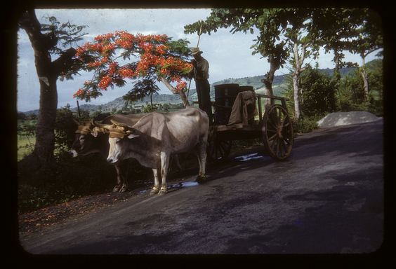 Flamboyan Trees and Oxen