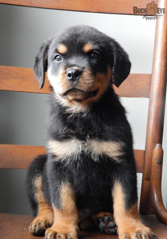 Rottweiler Rotty Charming Puppiesofpinterest Pinterestpuppies Lancasterpuppies Puppies Pups Rottweiler Puppies For Sale Rottweiler Puppies Rottweiler