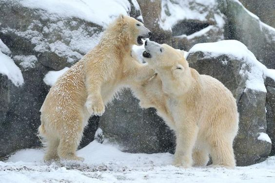 Spaß im Schnee: Seit Mai leben die Eisbären Lynn und Ranzo in der Eisbärenwelt im Tiergarten Schönbrunn. Nach dem Wintereinbruch am Wochenende genießen die beiden den ersten Schnee in ihrer neuen Heimat. Sie wälzen sich in der weißen Pracht und spielen ausgelassen miteinander. Mehr Bilder des Tages auf: http://www.nachrichten.at/nachrichten/bilder_des_tages/ (Bild: Tiergarten Schönbrunn/ Josef Gelernter)