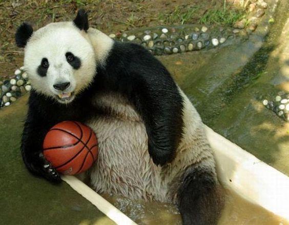 Panda Playing with a Basketball #pandabasketball #panda # ...
