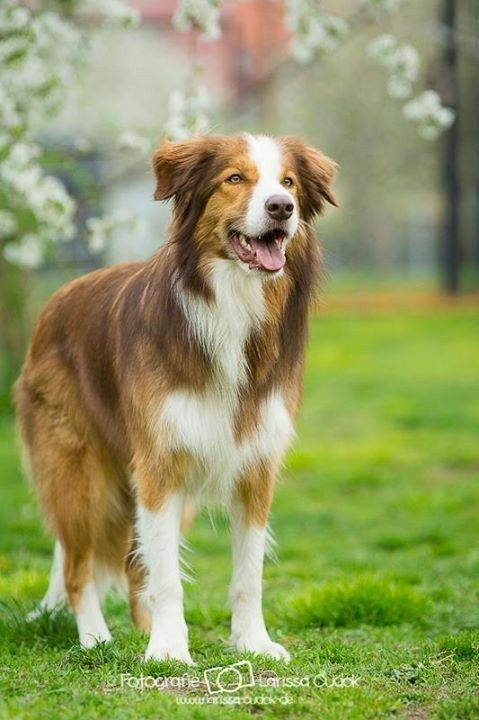 Very Pretty Cinnamon Border Collie English Shepherd Australian