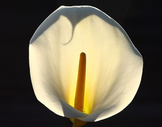 Backlit Calla Lily.  by Marc Crumpler (Ilikethenight).