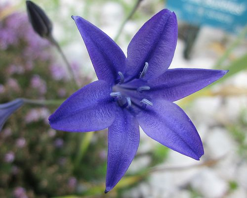 Purple Tiger Lily Flower | Blue Lilies Flowers | lilies ...