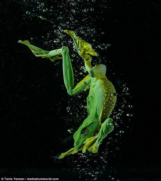 The incredible images taken by photographer Tanto Yensen from Jakarta, Indonesia shows the wild Javan Gliding Tree frog in a tank of water.