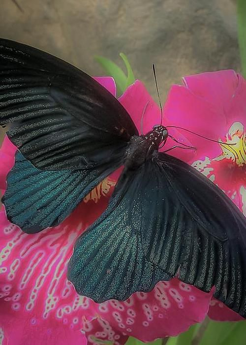 Black Butterfly Greeting Card for Sale by Susan Grube
