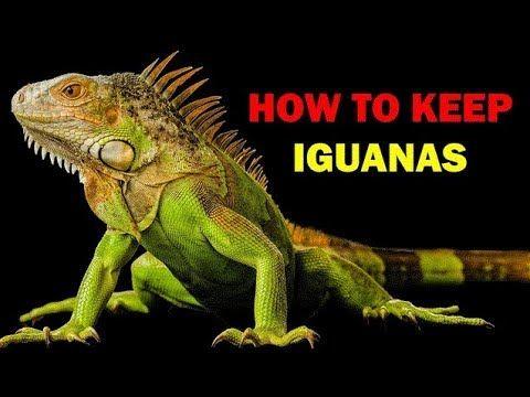 Iguana Unboxing Super Red Iguana Baby Langsung 5 Ekor Leones