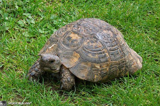 La Tortue d'Hermann est la seule tortue terrestre de France