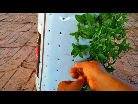 طريقة عبقرية لزراعة النعناع في المنزل Youtube Plants Herbs Enjoyment