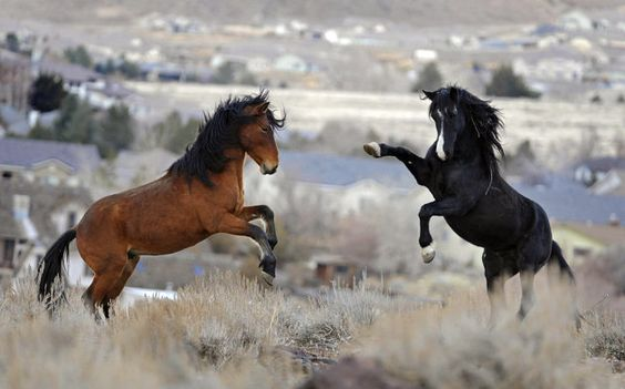 FILE - In this Jan. 13, 2010 file photo, two young wild horses play while grazing in Reno, Nev.