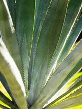 Agave Plant...need some of these.