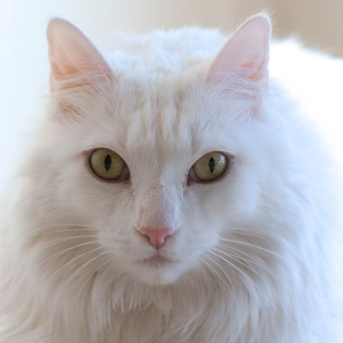ADOPT ME ~ Gorgeous Snow White, 4 years old, mellow and easygoing.  Visit our website:  http://MaineCoonAdoptions.com