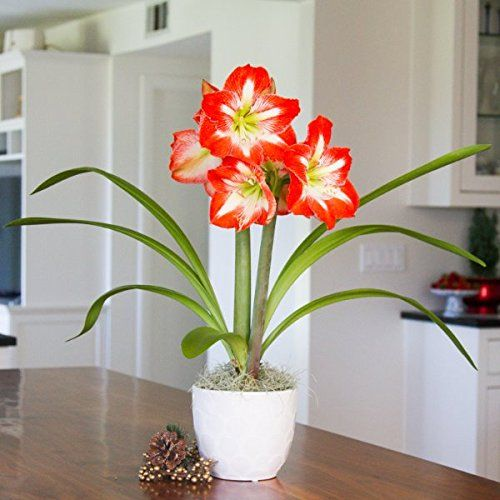 Amazon Com Amaryllis Minerva Bulb In A White Essence Ceramic Pot Pre Planted Huge Indoor Blooms In Weeks Indoor Bonsai Tree Amaryllis Planting Flowers