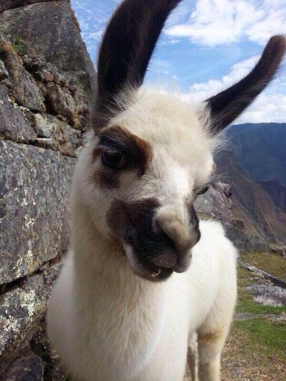 Most photogenic baby llama