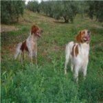 Las 10 Mejores Razas de Perros de Caza   Blog Perro-spaniel breton