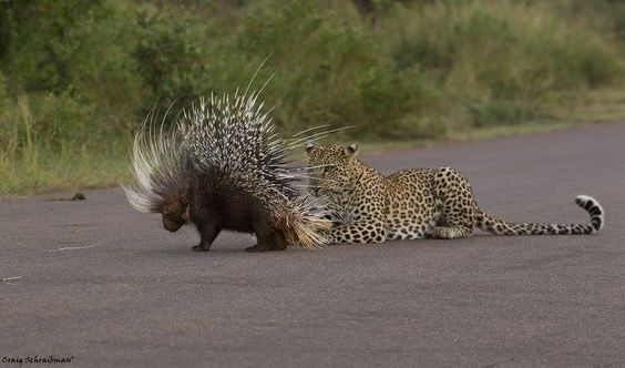 Leopardo y puercoespin