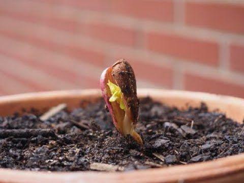 Como Germinar Y Plantar Un Almendro Prunus Dulcis Desde Una Almendra Youtube Arbol De Almendras Como Plantar Semillas Germinados