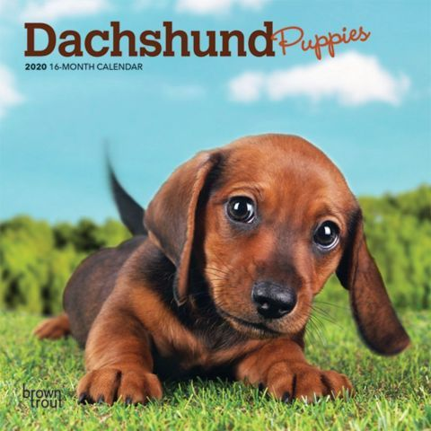 Dachshund Puppies 2020 Calendar The Dachshund Puppy Is Lively