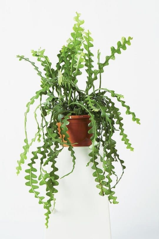 19 Best Trailing Succulents For Hanging Baskets In 2020 Hanging Plants Indoor Best Indoor Hanging Plants Plants For Hanging Baskets
