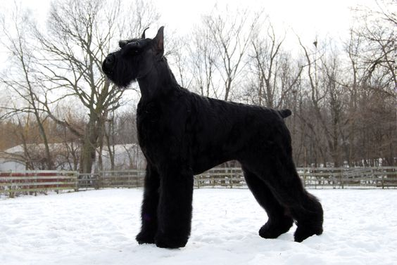 So, it's official... I'll be getting one of these (puppy version) in May!!! I couldn't be more excited, I've already started buying toys, I can't help it!! Giant Schnauzer - Batman (Am Méx Int Panam Ch HiStyle´s Batman)