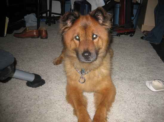 #Chow #Shepherd | #GSD mixed with #Chow-Chow | Pinterest
