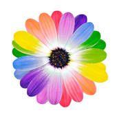 free multi colored daisy clipart | rainbow multi colored petals of daisy flower foto search clip art