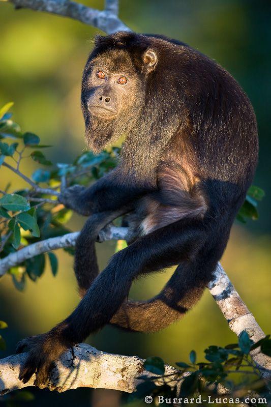Male Howler, Pantanal, MT - Brazil