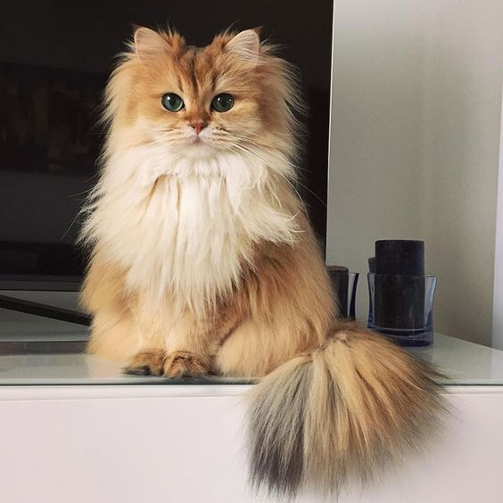 Type the words smoothie and cat into Google and you're sure to find some pretty horrific results. But while a cat smoothie might not be to everybody's tastes, we can all find something to like about this beautiful British Longhair named Smoothie.