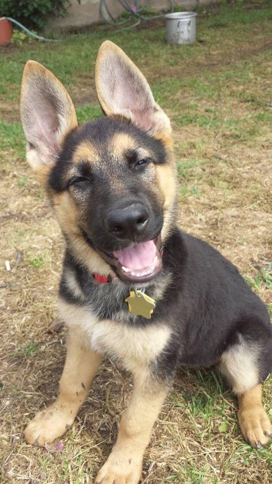 Your Dog S Ears Speak Volumes German Shepherd Puppies Puppies