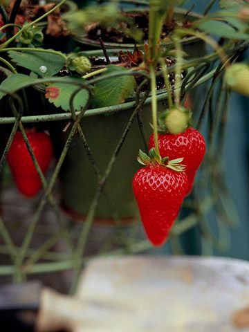 Grow in Containers    Add containers of edible plants to your garden -- or to decks and patios -- to expand your space. Ever-bearing strawberries, for example, do well in pots or hanging baskets. The red fruits look decorative hanging over the edges, and are easier to harvest.    Here's a hint: Colorful containers are another way to add a splash of interest to the garden