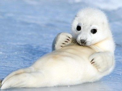 Photo of the Day: Baby Harp Seal Cuteness | Bébé et Animales - photo#24