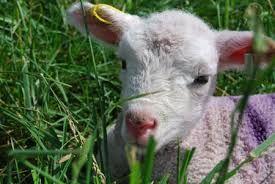 lamb sheep - Pesquisa Google