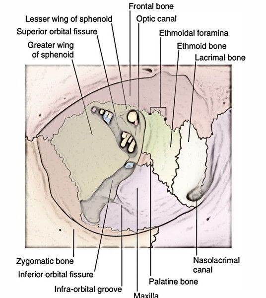 "Infra Orbital Groove Infraorbital Canal Infraorbital Foramen ǚ""圖片搜尋結果 Groove Palatine Bone Palatine Purpose the location of the infraorbital foramen and its variations are important during periorbital, dental, plastic, and oromaxillofacial surgeries. infra orbital groove infraorbital canal"