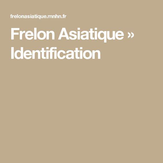Frelon Asiatique » Identification