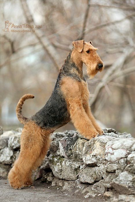 Untitled | Airedale dogs, Airedale terrier puppies, Dog breeds