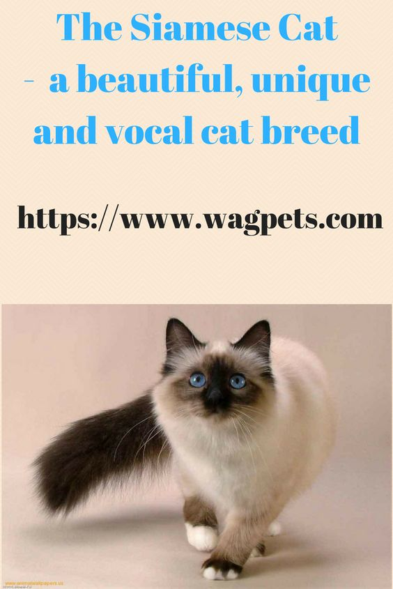 The Siamese Cat A Beautiful Unique And Vocal Cat Breed Siamese Cats Cat Breeds Cats
