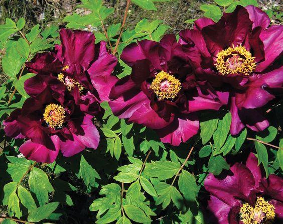 La Peonia Shima Daijin ha un fiore viola scuro con petali incurvati. I fiori sono abbastanza grandi, semi-doppi.