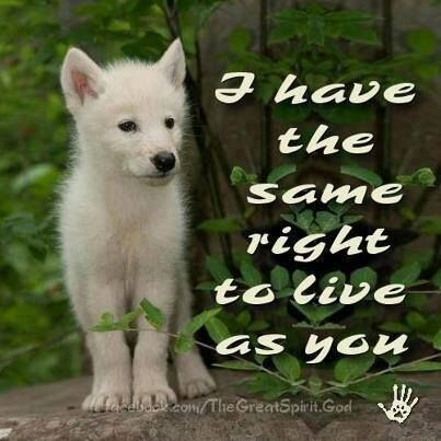 SAVE THE WOLVES, THEY ARE NOT A TROPHY TO BE HUNG ON THE WALL THEY DESERVE TO BE FREE JUST LIKE YOU AND ME: