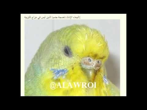 طيور البادجي Youtube Bird Animals Parrot