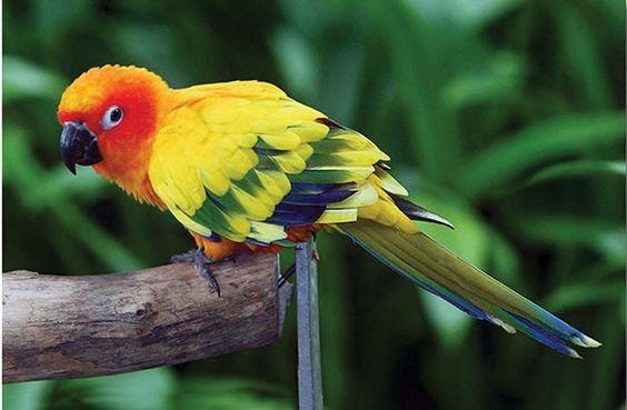 Resultado de imagem para sun parakeet